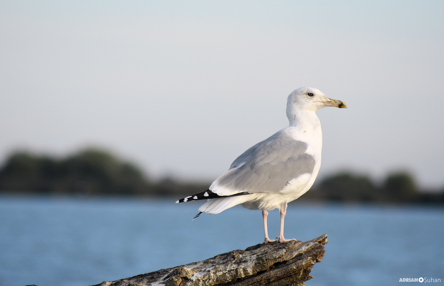 laridae gull photo on danube delta