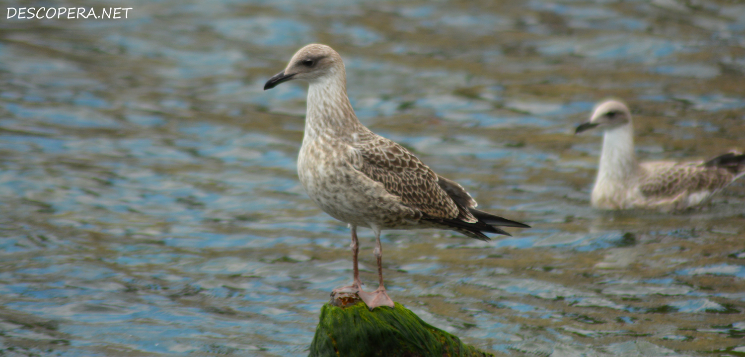 beautiful laridae gull cub