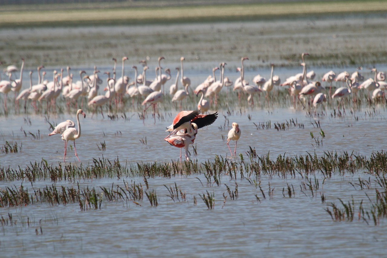 flamingo in rezervatia naturala donana spania